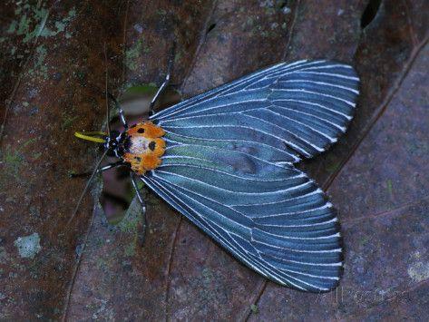 Danum Valley, Malaysia | Moth (Arctiidae), Danum Valley Conservation Area, Sabah, Borneo ...