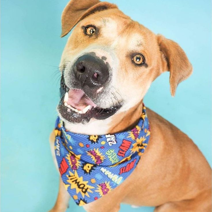 "Buster is our ADOPTABLE pet of the week! In the play yard, Buster is the official ""greeter"" & always first to say hello to a new dog! For more info on Buster & other pets follow @shelterpets_az & on FB at AZ Shelter Pets MCACC West shelter in Phx, AZ!"
