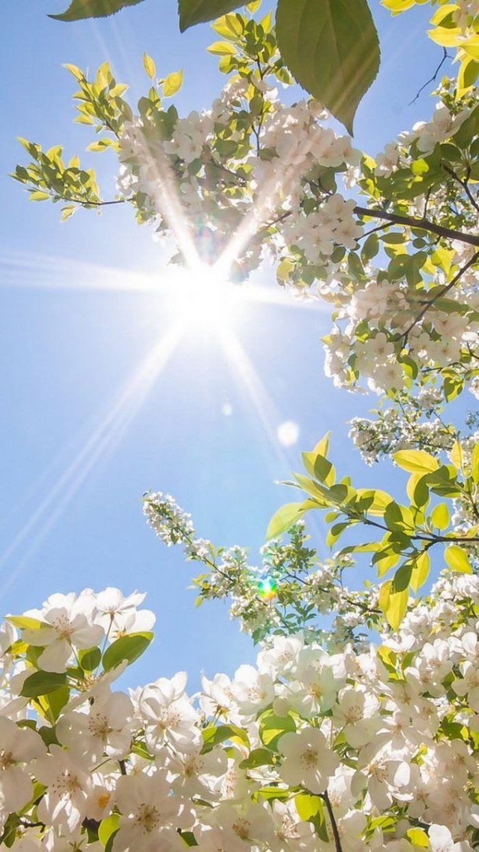 Spring Background Images White Blooming Tree Sun Shining Blue Skies Phone Wallpaper In 2020 Hello Spring Wallpaper Spring Wallpaper Beautiful Nature Wallpaper