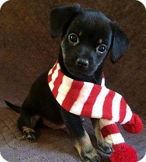 SOUTHINGTON, CT - Pug/Dachshund Mix. Meet Noel, a puppy for adoption. http://www.adoptapet.com/pet/17100190-southington-connecticut-pug-mix