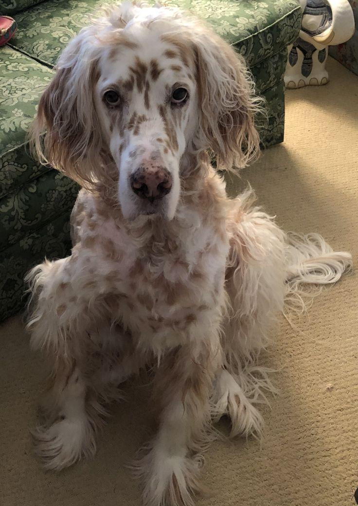 Pin on English setter puppies