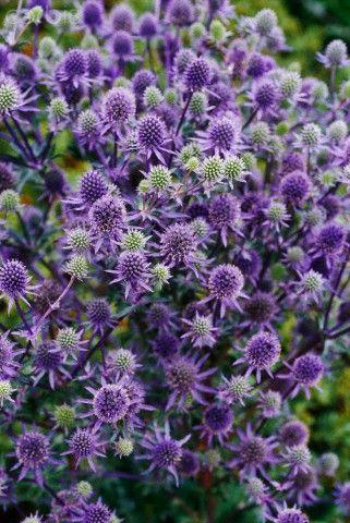 Abundant purple spiky flowers of Eryngium tripartitum, Tripartite eryngo more commonly called Sea holly.