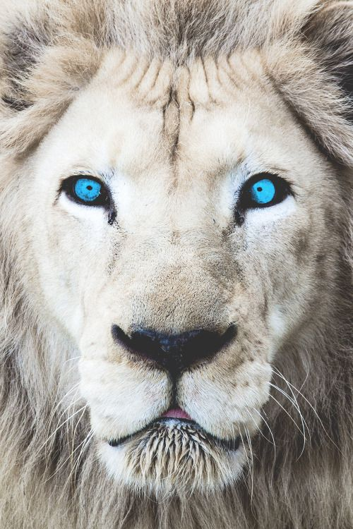 White lion with blue background logo - photo#47