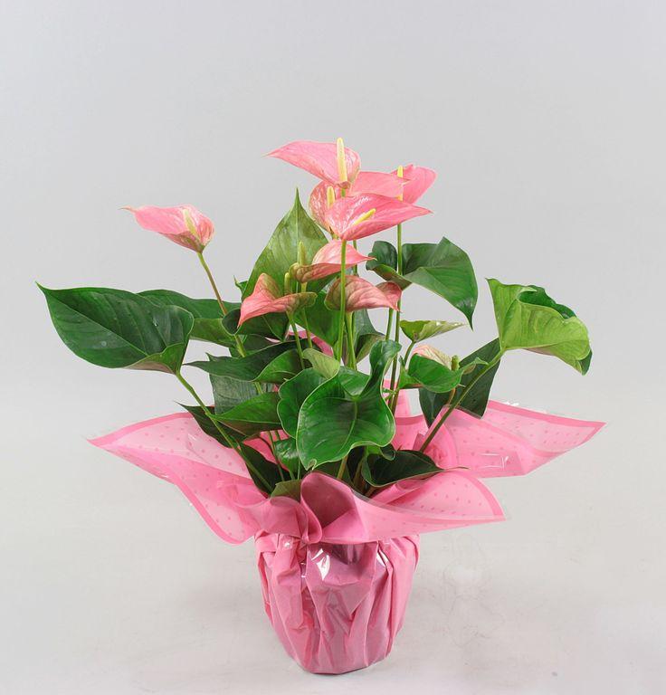 Anthurium andr. Pink Explosion Ø17cm in rondello