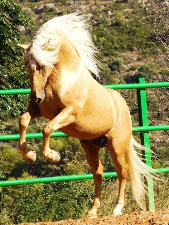 Palomino Horse Rearing Rearing Palominodreams Horses