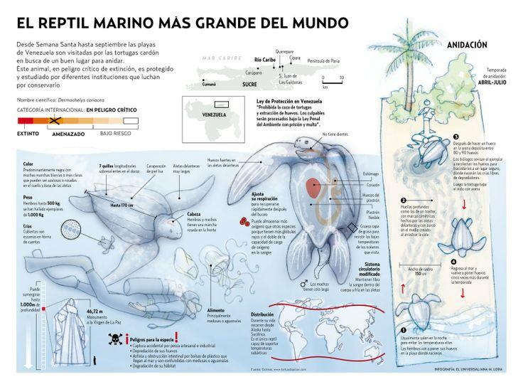 Biodiversidad Venezolana: El Reptil marino más grande del Mundo - Tortuga cardón - Dermochelys coriacea