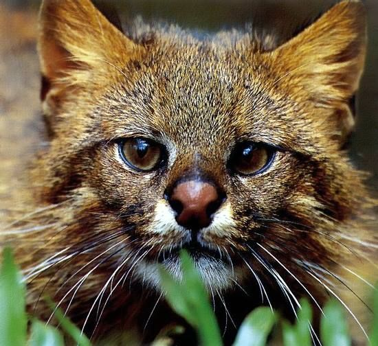 "Residing primarily in Argentina, Chile, Bolivia, Peru and Ecuador; the Pampas Cat is named after the lowland areas (""The Pampas"" or plains) of South America in which it is sometimes found, the pampas cat's preferred habitats are grasslands, shrub-lands, and dry forest elevations of up to 16,000 ft. The pampas cat is relatively chubby, it's easily recognizable by the dark markings on its flanks and its pointy ears, but is otherwise very similar looking to a domestic cat. —"
