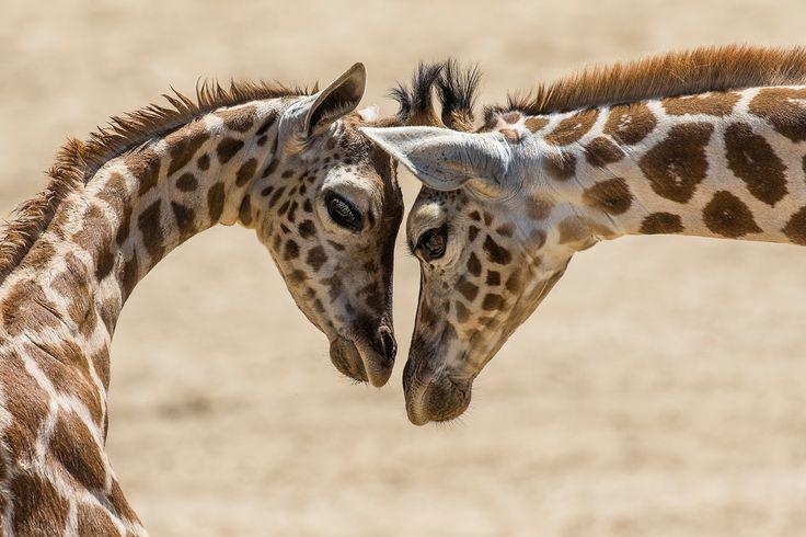 Adorable interaction between two giraffe calves caught on camera.