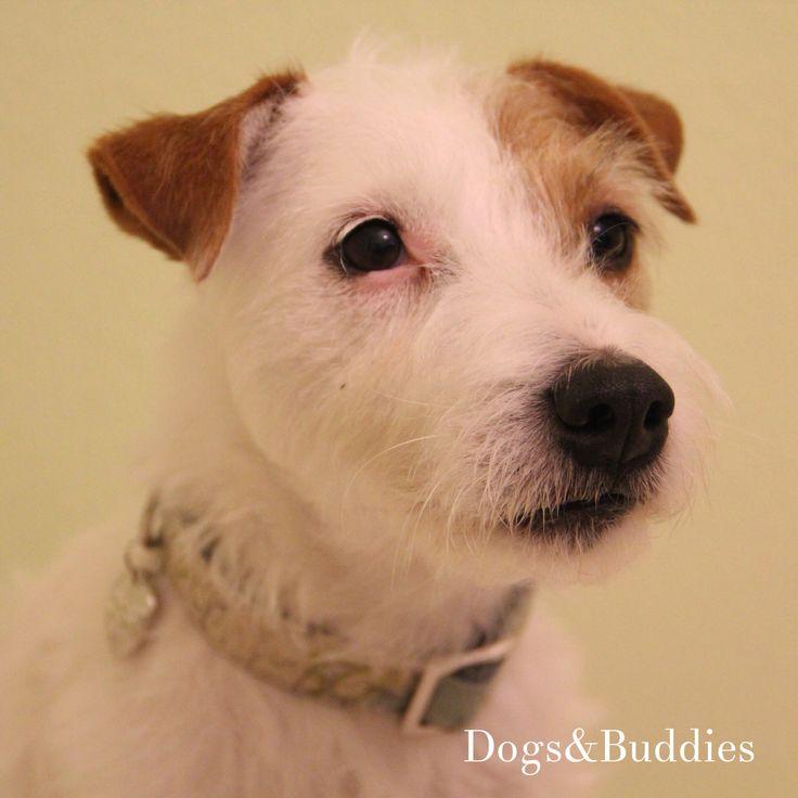 Mickey- Parson russell Terrier - dogsundbuddies - Deutschland - Halsband: prunkhund.de - Blog: dogsundbuddies.com