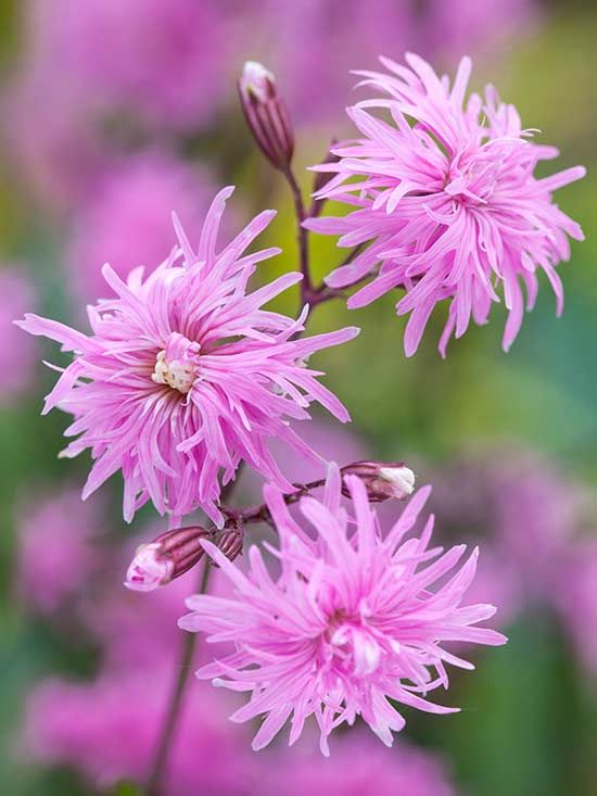 'Petite Jenny' is a new dwarf form of an easy-to-grow wildflower commonly called ragged robin. Its double pink flowers blend easily with other perennials in the garden, attracting butterflies throughout the summer. It's a charming and deer-resistant cut flower, reblooming reliably if deadheaded. Plant Name: Lychnis flos-cuculi 'Petite Jenny' Growing Conditions: full sun Size: 18 inches tall and 12 inches wide Zone: 3-9 Grow it with: irises and creeping phlox Image: Blooms of Bressingham/