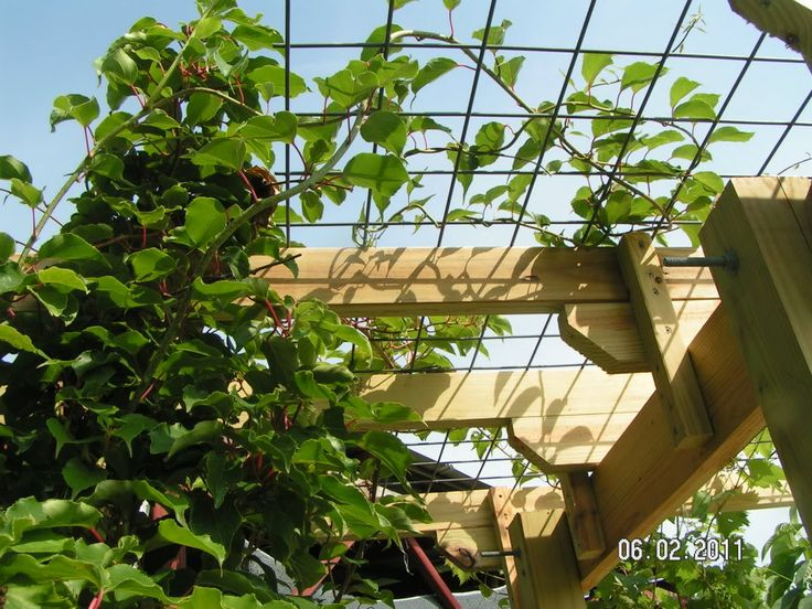 Kiwi Supported By Cattle Panel On Trellis Support