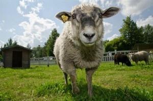 Annan ehkä rapsuttaa, jos olen sillä tuulella :)  #TravelFinland #Themepark #lammas #lamb