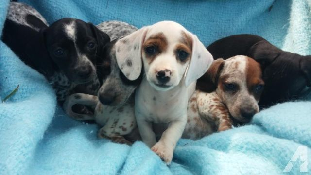 AKC Cute and Exotic Miniature Dachshund Puppies for Sale in Uvalde ...