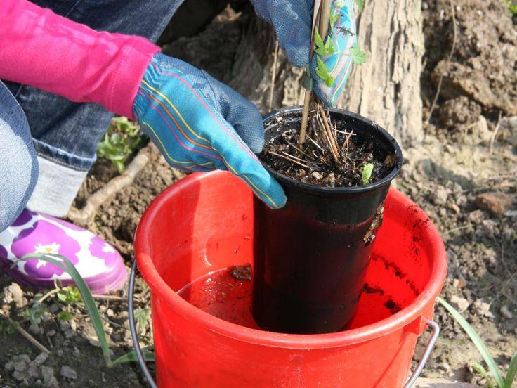 Topfen Sie die Clematis vorsichtig aus. Bei stark eingewurzelten Pflanzen sollten Sie den Topf oder Folienbeutel aufschneiden, damit Sie die empfindlichen Triebe nicht abreißen. Ausgetrocknete Topfballen stellen Sie einige Zeit in einen Wassereimer damit die Erde sich richtig voll saugen kann