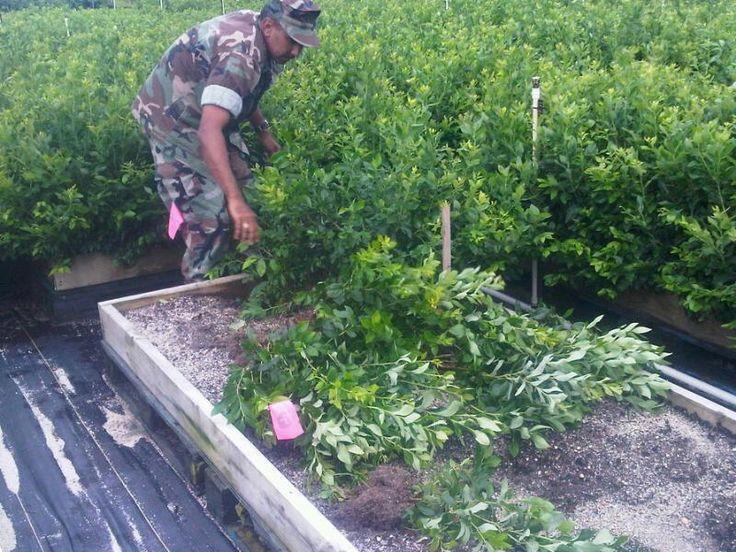 Premium Blueberry Plants for Sale - DiMeo Farms & Nursery Blueberry Bushes for Sale
