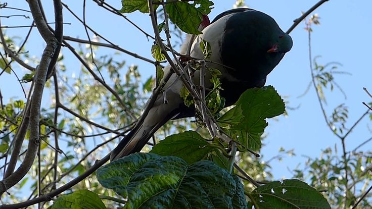 Kereru eating the White Mulberrry- Wharepuke Gardens Kerikeri