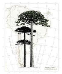 Resultado de imagen para araucaria ilustracion