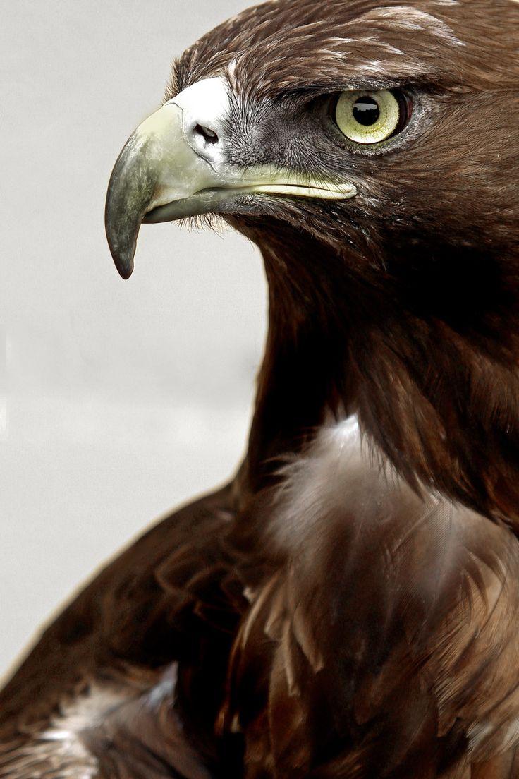 (via 500px / Golden Eagle by Alan Hinchliffe)