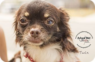 Inland Empire, CA - Japanese Chin/Chihuahua Mix. Meet TWIX, a dog for adoption…