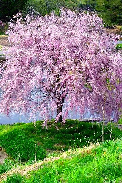 10-unids-fuente-Blanco-semillas-de-cerezo-llorón-bonsai-japonés-sakura-Árbol-Enano-árboles-semillas-Jardín.jpg (410×615)