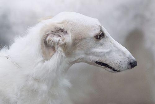 BORZOI DOG - RUSSIAN WOLFHOUND