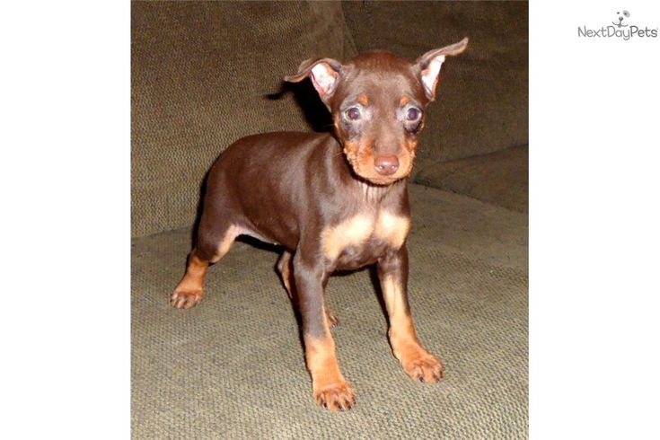 Brown Min Pin | Chocolate Min Pin Puppies Miniature ...