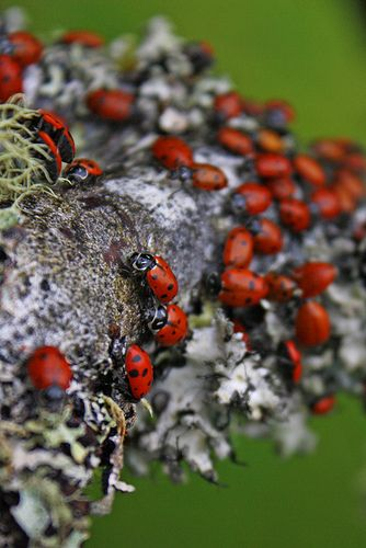 Seeking the help of Ladybugs to get rid of an aphid infestation.