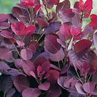 Cotinus coggygria 'Lilla'     Dwarf purple smoke tree.  This beautiful new shrub is a compact version of the highly popular Cotinus 'Royal Purple'.  Growing to just over 1m, it has stunning wine red leaves that turn vibrant red/orange in Autumn.  In summer the fluffy flower panicles on mature plants appear to cloak the bush in a cloud of pink 'smoke'.