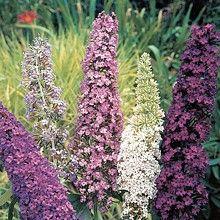 Buddleja 'Mixed Varieties'