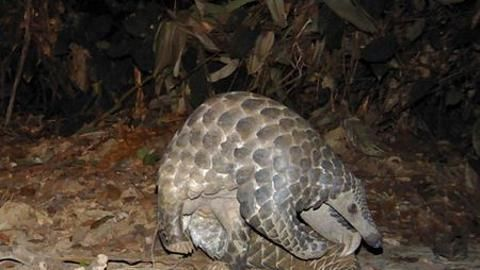 Handout of a giant pangolin walking in the woods in Lope National Park in Gabon