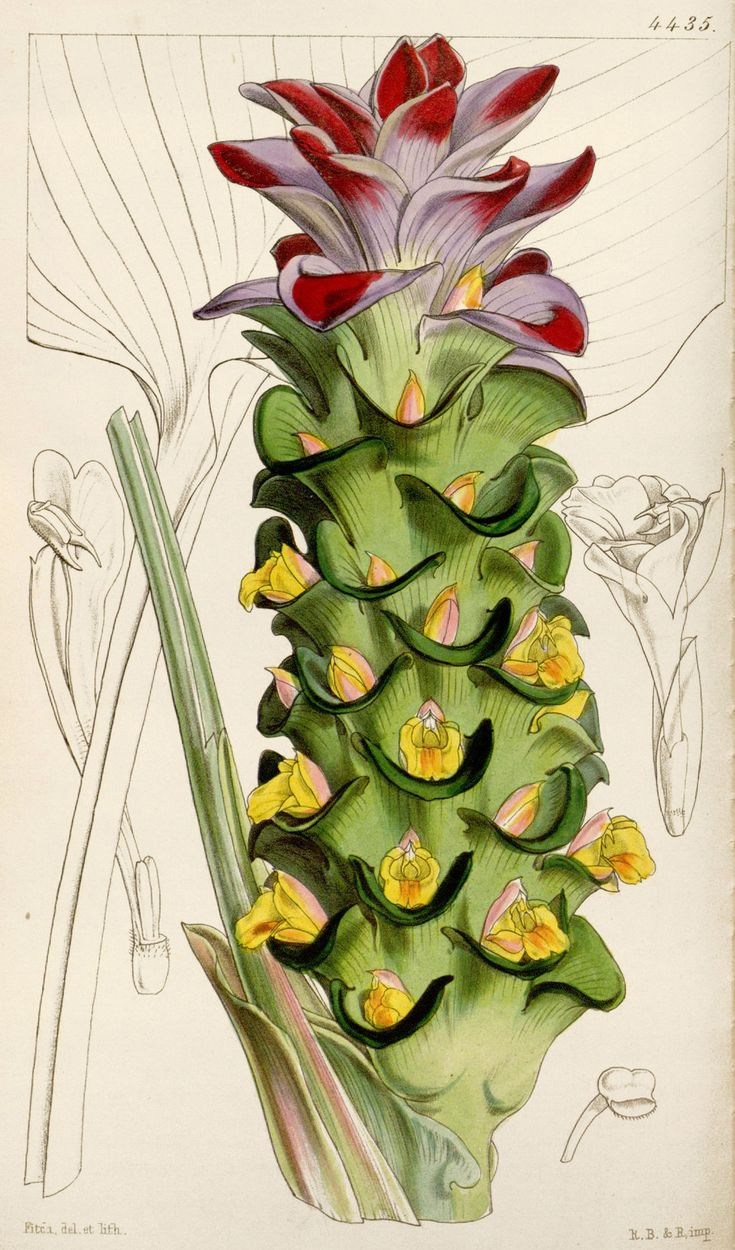 White Turmeric Botanical Illustration circa 1849 by Walter Hood Fitch