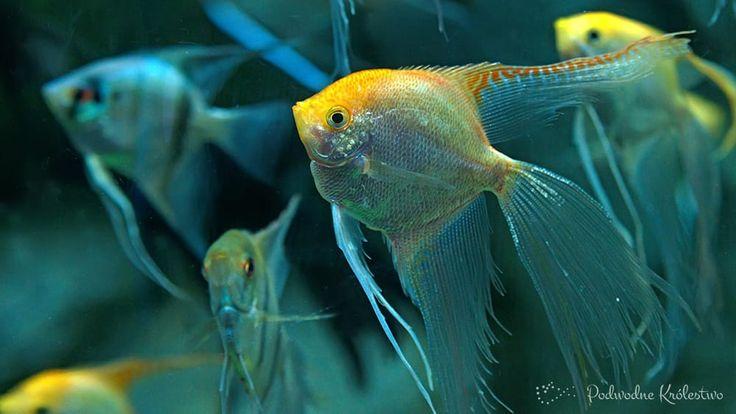Żaglowiec - skalar Jedna z najbardziej znanych słodkowodnych ryb akwariowych rozpoznawana przez niemal każdego akwarystę. Wymaga dość dużego i wysokiego zbiornika.