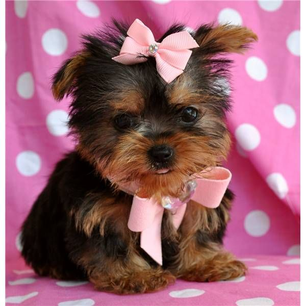 Tea cup Yorkies! | Adorable Pets | Pinterest