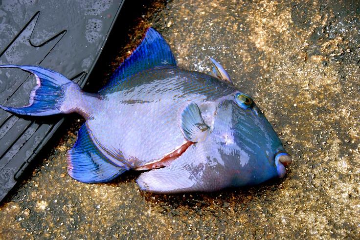 Fish.Farkarava