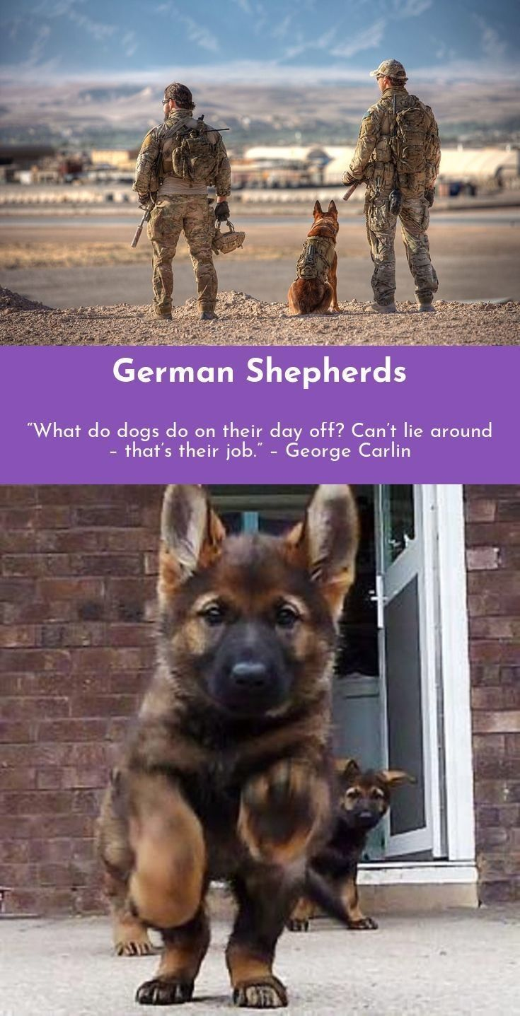German Shepherd Strong And Loyal Military Dogs German Shepherd Puppies German Shepherd