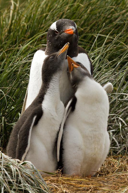 Gentoo Penguin, Pygoscelis papua papua, adult & chick | Macquarie Island, Australia