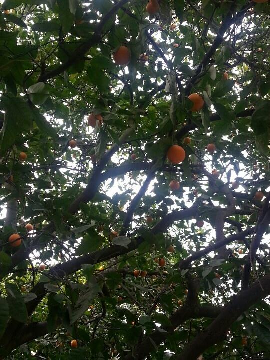 Valencia orange tree