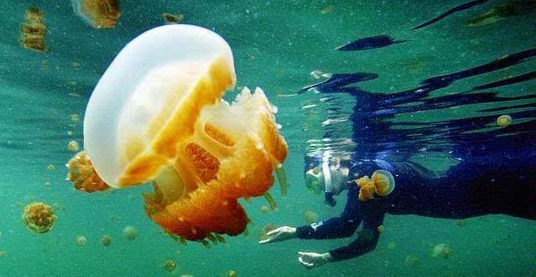 Swimming with stingless jellyfish in Lake Kakaban, Derawan, East Kalimantan.
