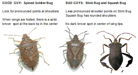 How to tell the difference between spined soldier bug and stink squash bug gardening - Difference shell house turnkey ...