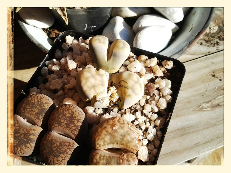 Lithops   Also understandably known as living stone, this hearty succulent is native to Southern Africa. Their unique appearance is due to the need to protect themselves from being eaten — rocks don't really look
