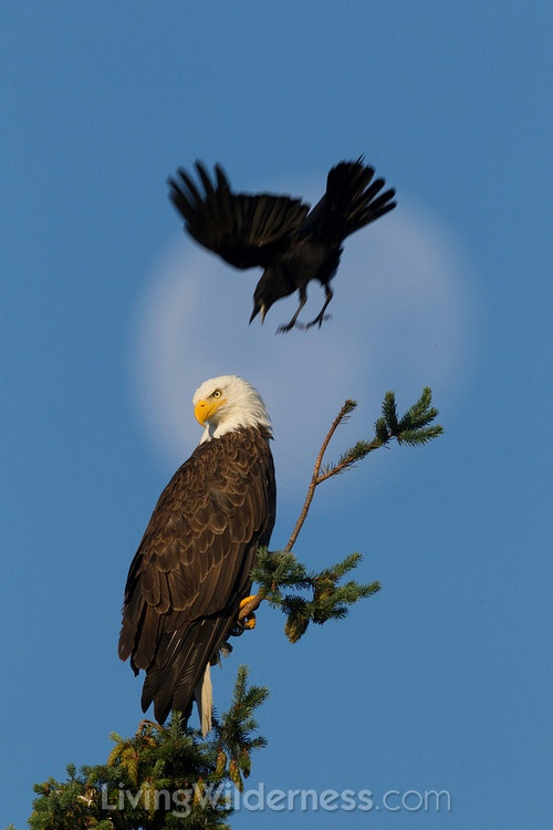 American bald eagle diet