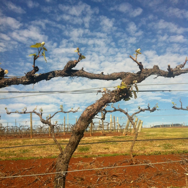 Took this photo this morning, red soils, blue skies & green shoots! #hellospring #hunterwine