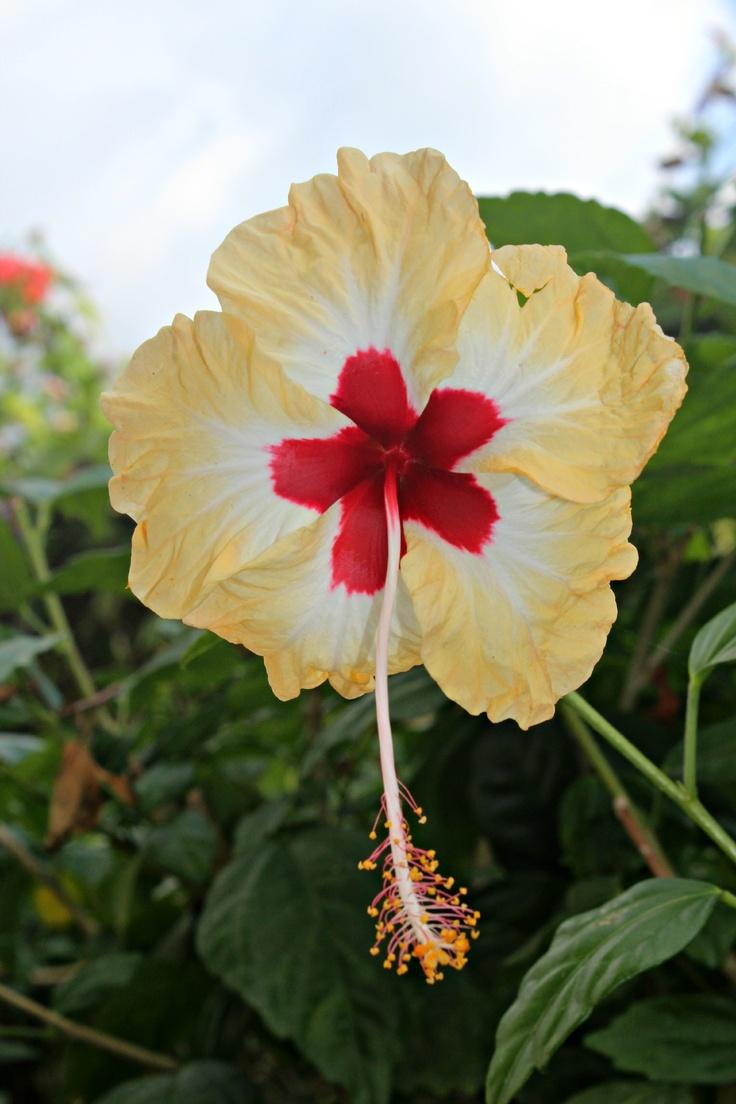 793 best hibiscos images on pinterest hibiscus hibiscus hibiscus in negril jamaica izmirmasajfo Choice Image