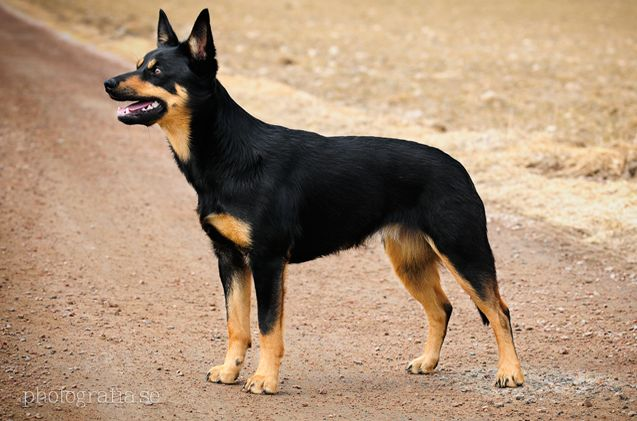 Black and Tan Australian Kelpie