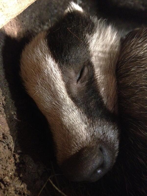 Sleeping Badger
