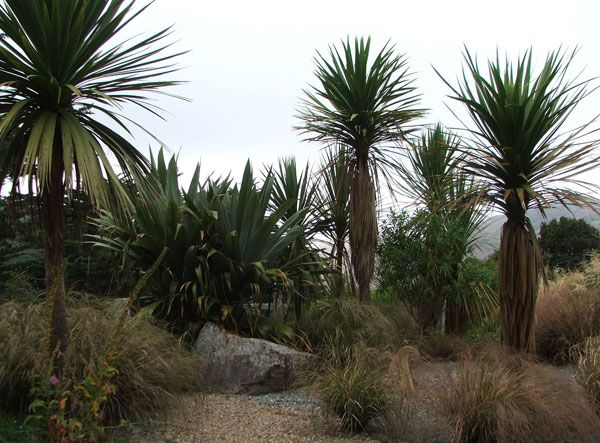 New Zealand cordylines (cabbage trees) are great visually architectural plants.  If your looking to create a modern garden they look fantastic in a bed of rock or gravel. They are very well suited for large pots and require very little watering Or maintenance.