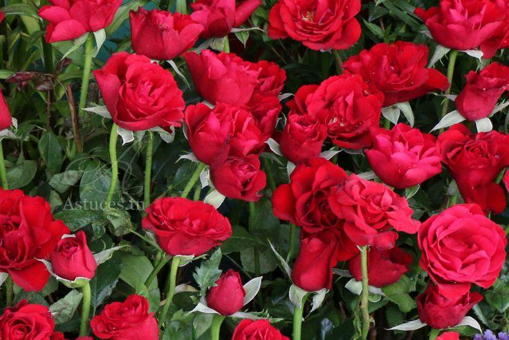 Fertilisant totalement gratuit pour rosier
