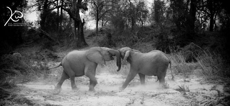 subadult Bull Elephants playing