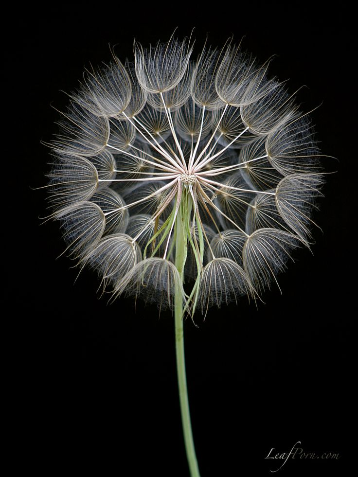 Dandelion puff...would love to paint this.
