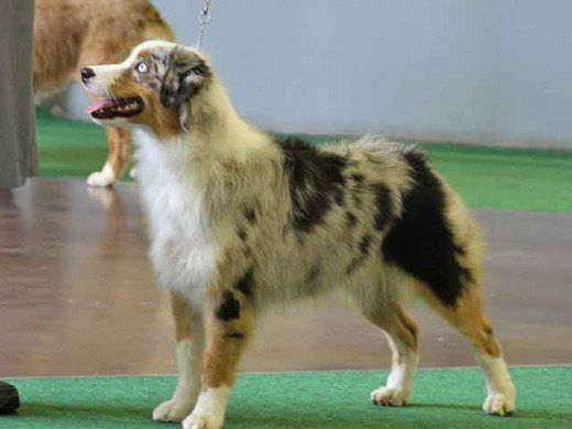The average Australian Shepherd stands about two and a half feet tall and weighs about 35 to 60 pounds. Australian Shepherds have a medium length coat that can be either wavy or straight. While Australian Shepherds shed lightly throughout the year...